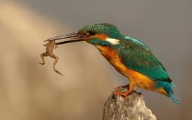 Обои зимородок, лягушка, птичка, добыча, камень