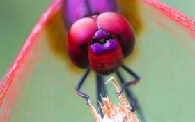 Обои насекомое, глаза, муха, голова