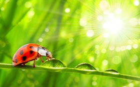Обои капли, nature, трава, роса, ladybug, the dew drops, the grass