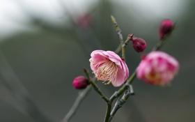 Обои природа, фон, Prunus mume