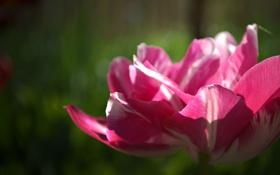 Обои весна, тюльпаны, красивые, дача, мои