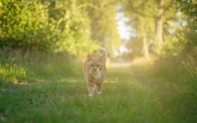Обои кот, лес, трава, солнце, способ, путь