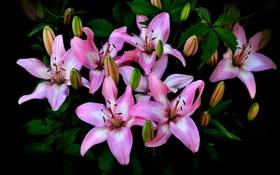 Картинка природа, лилии, букет, лепестки