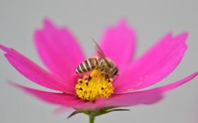 Картинка цветок, пчела, насекомое, лепестки, космея