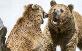 Картинка медведи, пасть, пара, оскал, ©Tambako The Jaguar
