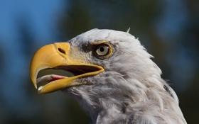 Обои глаза, взгляд, птица, орел, голова, клюв
