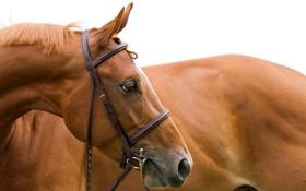 Картинка морда, конь, лошадь, голова, грива, профиль, уздечка