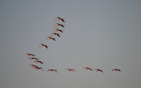 Обои фламинго, полёт, небо