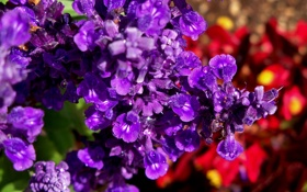 Обои макро, роса, фиолетовые