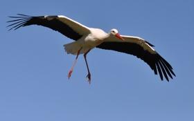 Картинка птица, аист, полёт