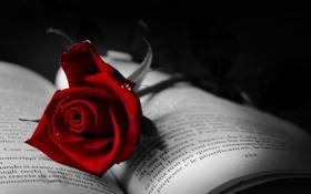 Картинка макро, роза, книга