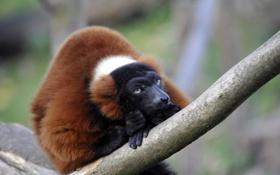 Картинка взгляд, ветка, лемур, примат, вари