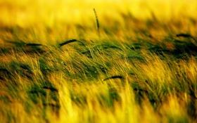 Обои трава, природа, колоски, растения. проле