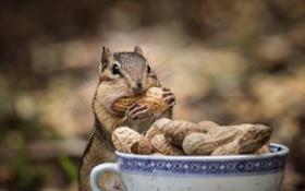 Обои лапки, бурундук, грызун, арахис, щеки, топчет