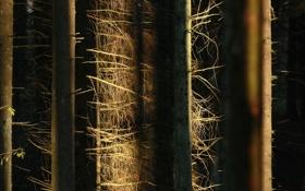 Обои лес, свет, деревья, природа, стволы