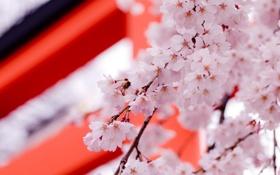 Обои весна, цветы, саккура, дерево