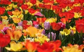 Обои тюльпаны, бутоны, разноцветные, много