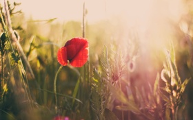Обои поле, трава, природа, мак
