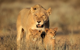 Обои кошка, семья, детёныш, львята, львица, львёнок