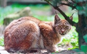 Картинка взгляд, хищник, рысь, lynx