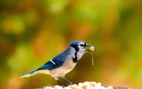 Обои птица, фон, еда, орехи