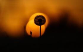 Картинка закат, растение, одуванчик, лето, природа, вечер