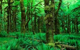 Обои зелень, лес, листья, деревья, природа, фото, обои