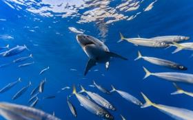 Картинка рыбы, природа, акула