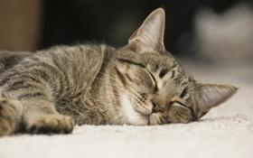 Картинка кошка, кот, котенок, спит, cat
