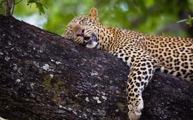 Обои кошка, дерево, сон, пантера, леопард, барс