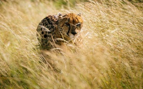 Обои трава, гепард, Африка, охота