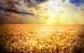 Обои пшеница, поле, лучи, закат, мак, колосья, золотистый