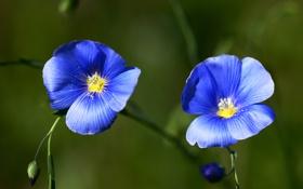 Картинка лён, цветы, синий, лепестки, пыльца