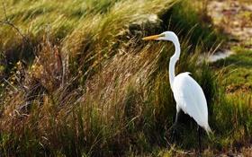 Картинка болото, Ardea alba, Большая белая цапля, трава