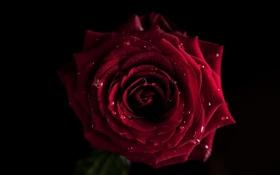 Обои цветок, вода, капли, цветы, роза, лепестки, бутон