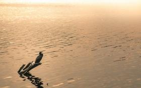 Картинка природа, озеро, птица, вечер
