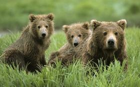 Обои трава, природа, обои, медведи, семя, wallpaper, медвежонок