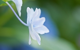 Картинка белый, цветок, макро, свет, голубой, нежность, растение