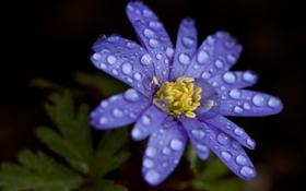 Обои листья, вода, капли, лепестки, синие, ветреница, печёночница