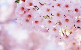 Картинка розовый, вишня, лепестки, ветка, размытость, цветы