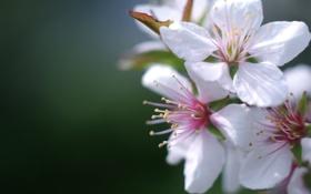 Картинка весна, цветы, вишня, цвет