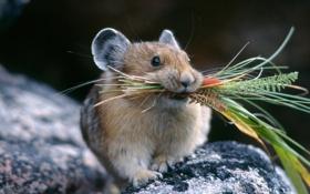 Обои трава, природа, ситуация, Мышь, мышонок