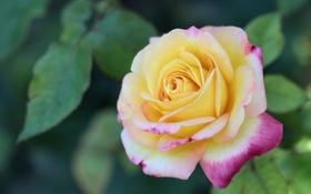Обои листья, роза, жёлтая, лепестки, размытость