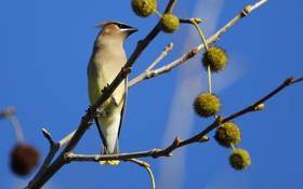 Обои птица, свиристель, ветки, небо, дерево