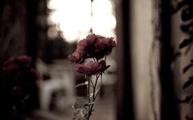 Обои роза, розовая, резкость, фокус