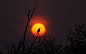 Обои закат, тица, солнце, ветви, силуэт, живая природа, дерево