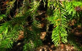 Обои лес, ветка, елка