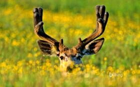 Картинка трава, природа, олень, луг, Канада, рога, Альберта