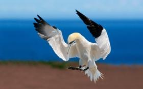 Картинка море, небо, полет, птица, обои, крылья, клюв