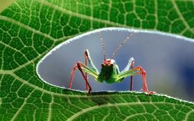 Обои macro, close up, grasshopper